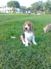 Beagle, 4 months, tricolor