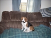 Beagle, 11, tri