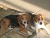 Beagle, 7 yrs, 3yrs, Tricolor