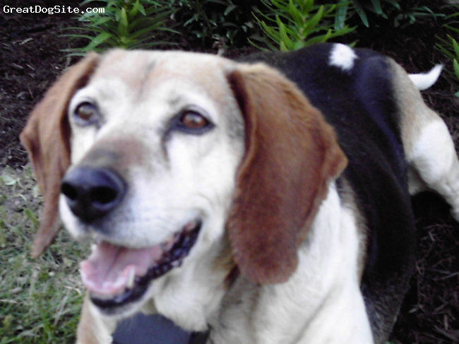 Beagle, 10, brown, black, white, She was the best dog anyone could have. Beagles are the most sweet, loving animals in the world!!!