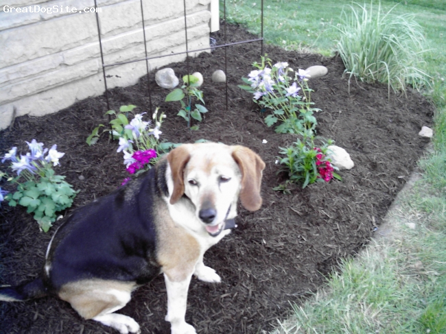 Beagle, 10, brown, black, white, Beautiful dog. My Best Friend!!!