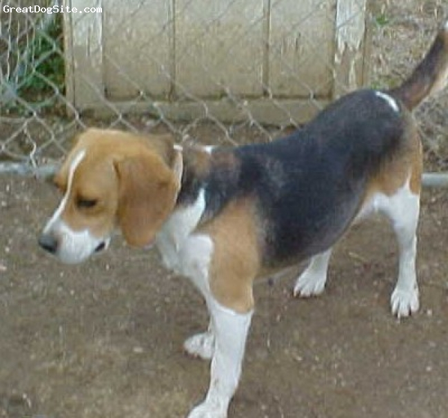 Beagle, 6 YR, BLACK/WHITE/TAN, SALLY IS A GREAT PET SHE DOESN'T HUNT ANY MORE BUT LOVES TO RUN LOOSE IN OUR YARD