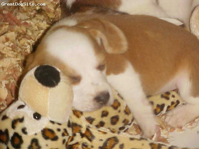 Beagle, 5 WEEKS OLD, LEMON/WHITE, BUSTER WAS SLEEPING ON HIS STUFFED TOY