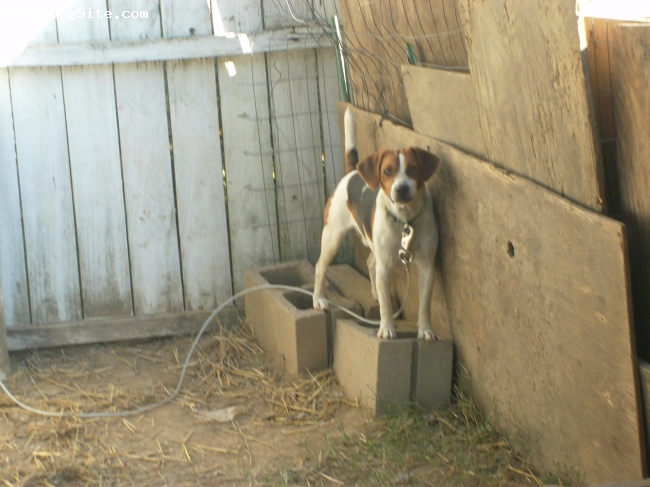 Beagle, 16 months, tan and brown, Beautiful Stud Dog and Family Member!