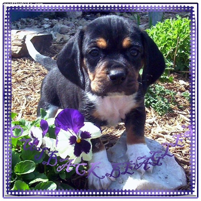 Beagle, 10 weeks, tri-color, Isn't he a cutie pie : ),