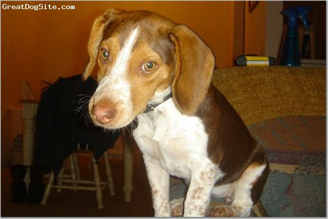 Beagle, 6 months, reddish brown and white, This is a picture of my yellow creek beagle when she was only 6 months