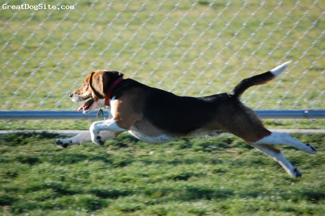 Beagle, 1y 6m, Tricolor, Fun, loving and great friend!