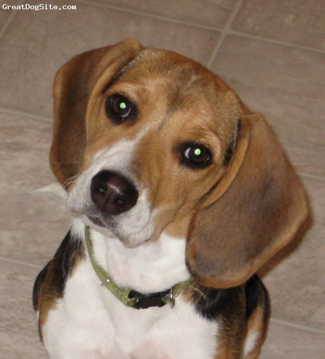 Beagle, 6 months, tri, sam is an egergetic dog.she is very loving and affectionate.