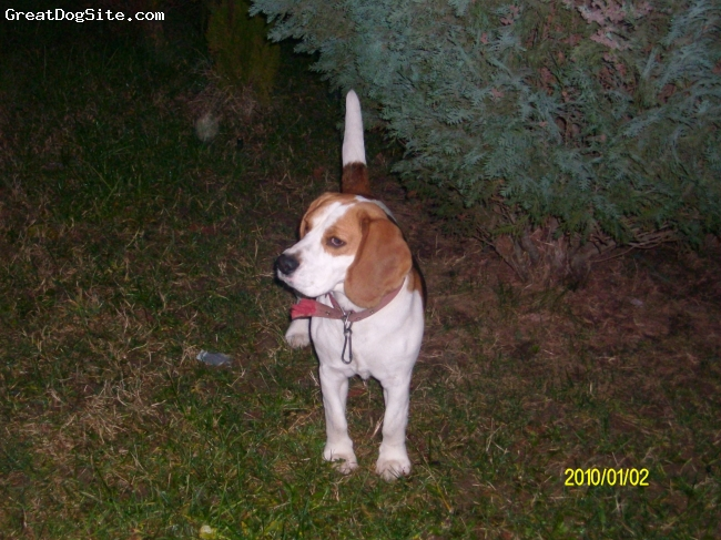 Beagle, one year, black brown and white, hes a very clever dog hes funny cute and hes my everething