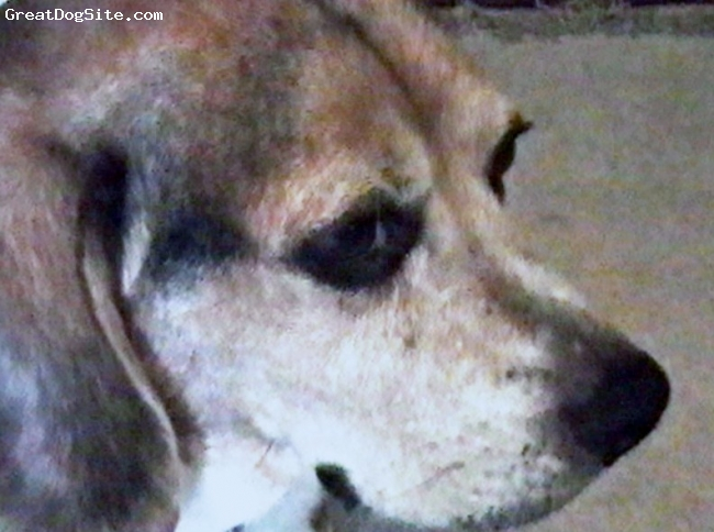 Beagle, 12 yrs, black, tan, white, passed away Dec 26, 2009, we loved him so much, he is greatly missed by everyone who knew him