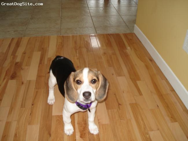 Beagle, 1, tricolor, Beagle