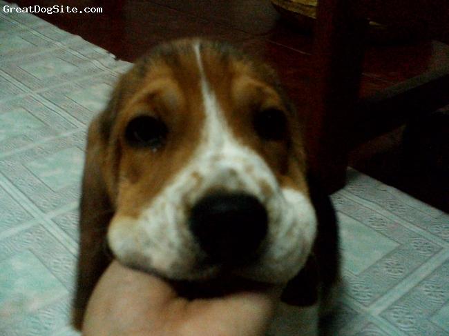 Beagle, 2 months, tricolor, cutie