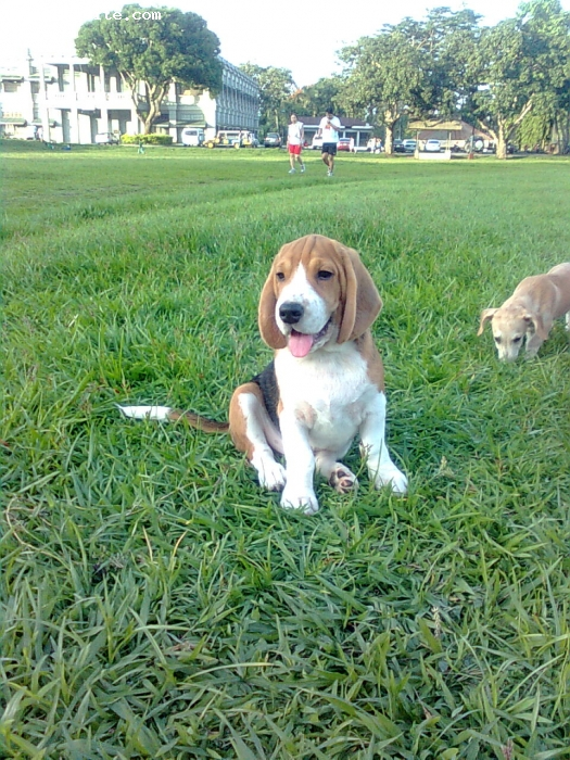 Beagle, 4 months, tricolor, Very sweet dog, great with kids