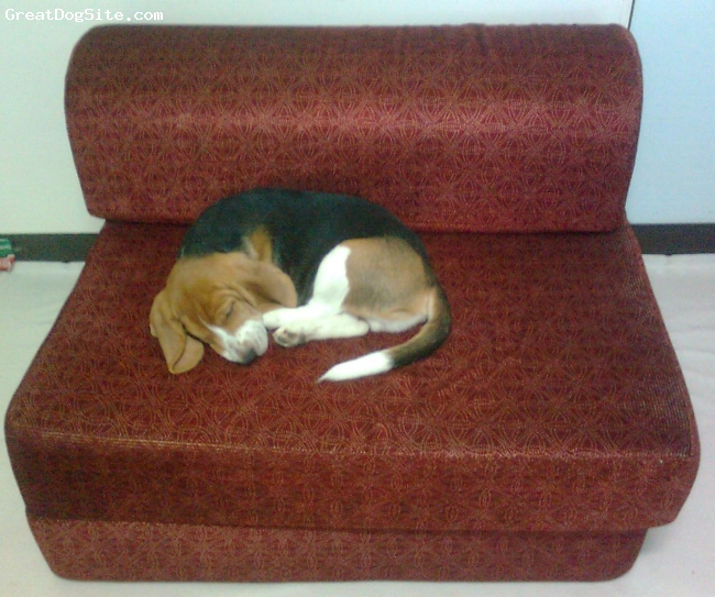 Beagle, 4 months, tricolor, Sleeping comfortably in my bed