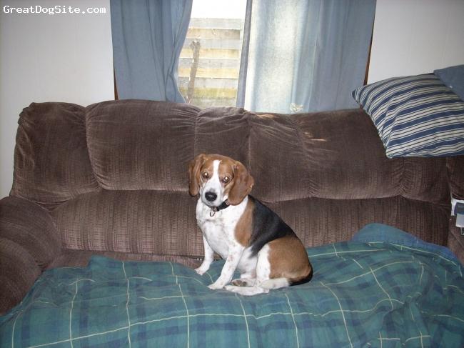 Beagle, 11, tri, just sitting