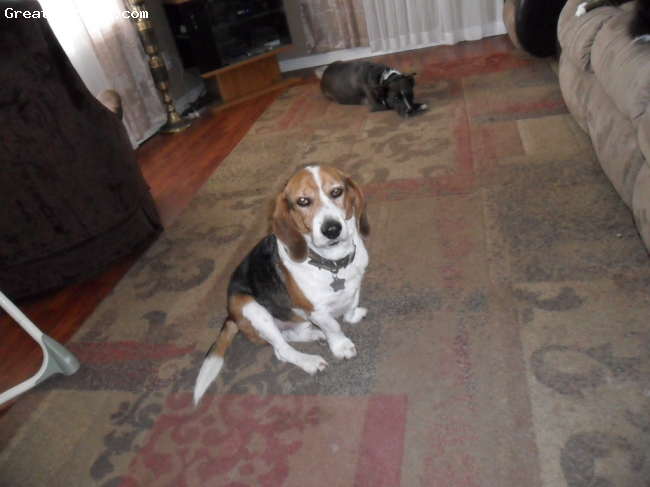 Beagle, 7, Brown,Black and white, Brown, Black and White
