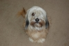 Bearded Collie, 9, cream