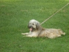 Bearded Collie, 1yr and 1 month old, brown