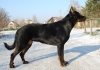 Beauceron, 2,5, blac&tan