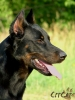 Beauceron, 2, blac and tan