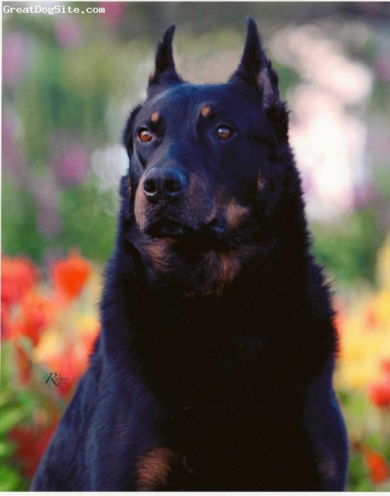 Beauceron, 4 years old, Black/Rust, Come visit Leo's page: www.pawsnclaws.us/uscar_ped.htm