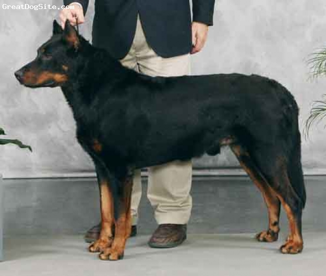 Beauceron, 4 years old, Black/Rust, Leo - show photo - Group win!
