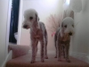 Bedlington Terrier, 5 and 3, Blue