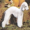 Bedlington Terrier, 3, Blue