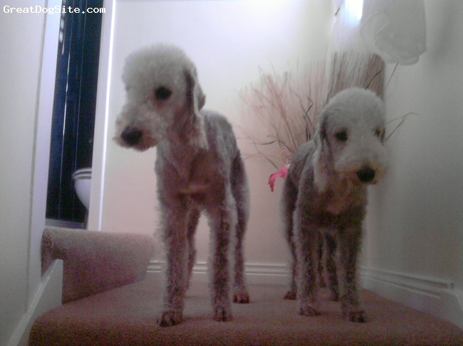 Bedlington Terrier, 5 and 3, Blue, Alfie and Molly posing