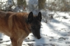 Belgian Malinois, 10 years, Fawn