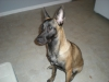 Belgian Malinois, 7 months, Brown, Tan, Black