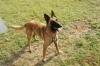 Belgian Malinois, 5, Red, Black Mask
