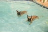 Belgian Malinois, 1 & 5, Red, Black Mask