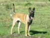 Belgian Malinois, 7 Months, Red