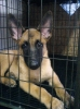 Belgian Malinois, 2 months (june 2008), body-brown & white, face-black masked