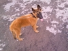 Belgian Malinois, 4 months and 15 days, fawn