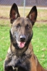 Belgian Malinois, 2.5, Brown