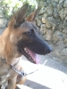 Belgian Malinois, 9 mos., brown