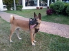 Belgian Malinois, 9 mos., rusty red