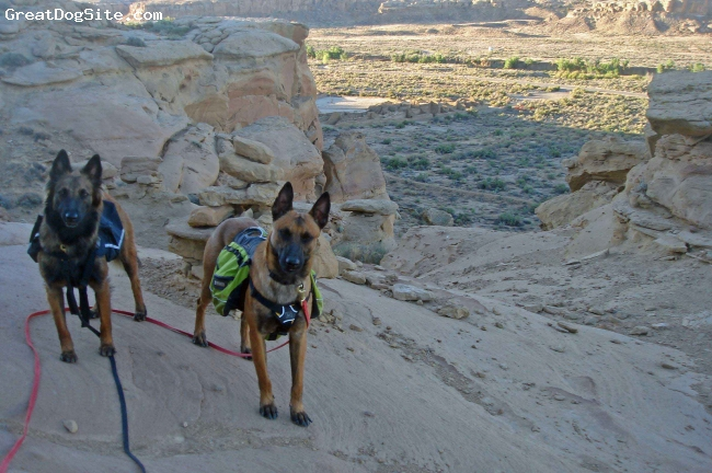 Belgian Malinois, 15 and 21 months, fawn, On a dog vacation in Chaco Canyon, New Mexico.  The enjoyment of these animals have working and exploring, they love physical and mental challenges.