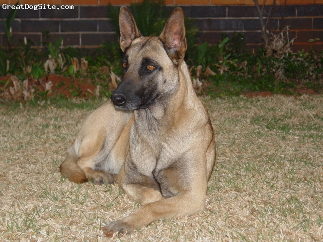 Belgian Malinois, 2, Red, Black Mask, Savannah chilling on a hot summers night in Africa.