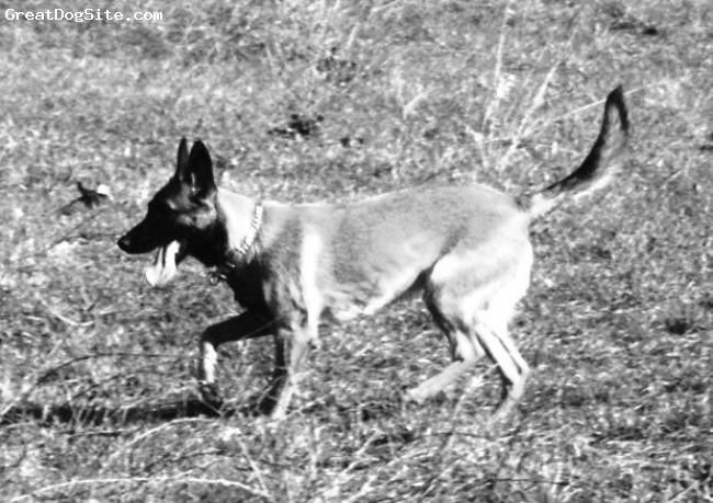 Belgian Malinois, 7 Months, Red, Sydnie, waiting for us to throw her tennis ball