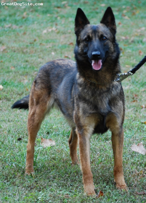 A photo of a 2 years old, Brown/Black, Belgian Malinois ...