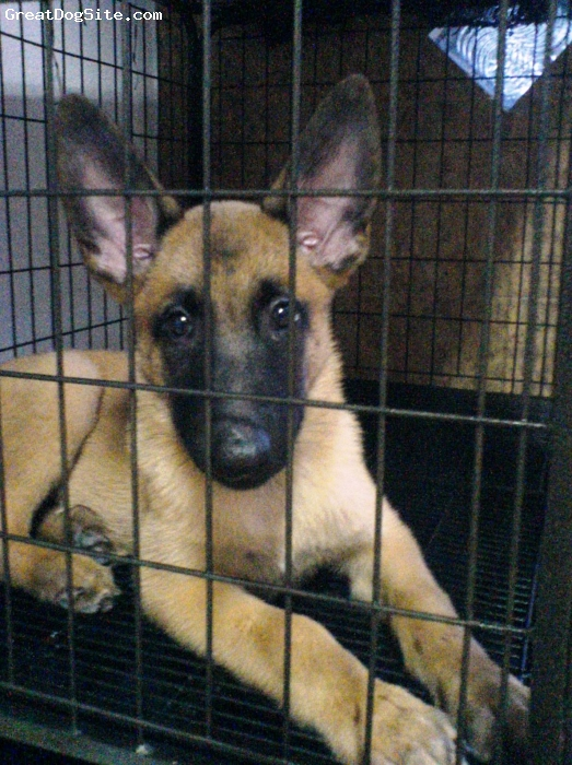 Belgian Malinois, 2 months (june 2008), body-brown & white, face-black masked, Cute and playful