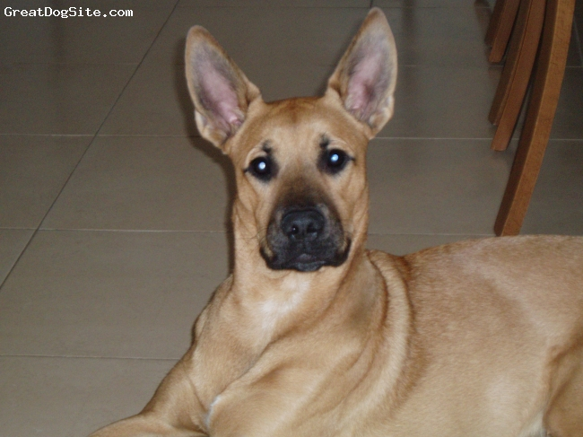 A photo of a 10 old, brun, Belgian Malinois - relax at ...