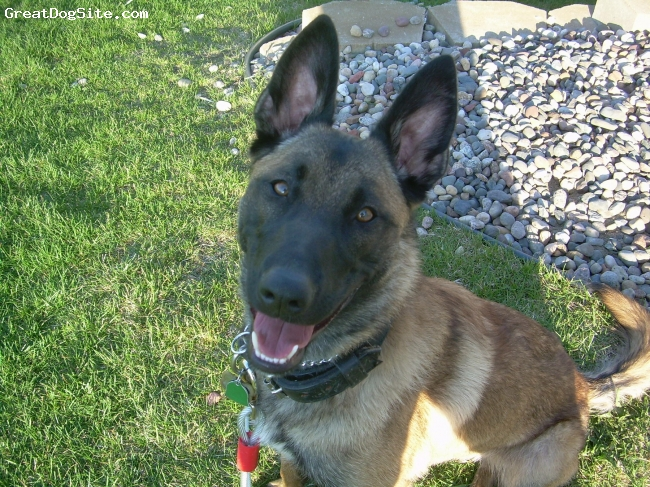 Belgian Malinois, 1 year, Mahgoney, Pure Belgian Malinois