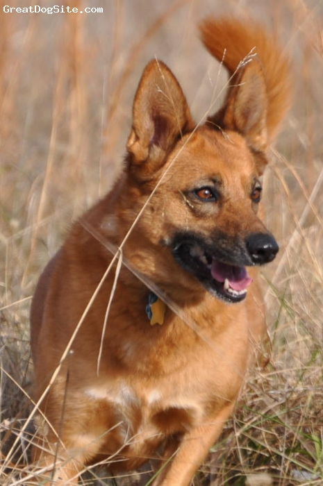 Belgian Malinois, 5, Brown, Beautiful Girl, loving and affectionate.