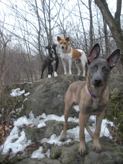 Belgian Malinois, 8months, blue fawn, Owner Becky Collins, Ontario, Canada