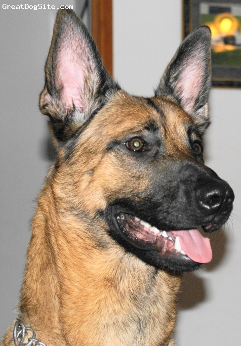 Belgian Malinois, 2 years, fawn, We got charlie from rescue home when he was only 8 months old and very under weight, and hes two a has filled out very well