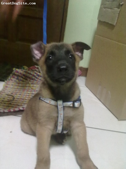 Belgian Malinois, 3 months, brown, sweet and smart